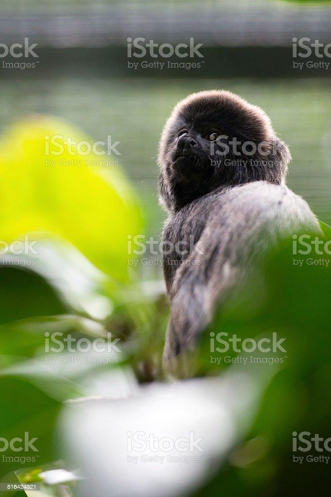 Goeldi's Monkey Portrait. stock photo