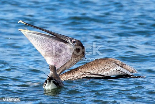 Brown Pelican swallowing its dinner.