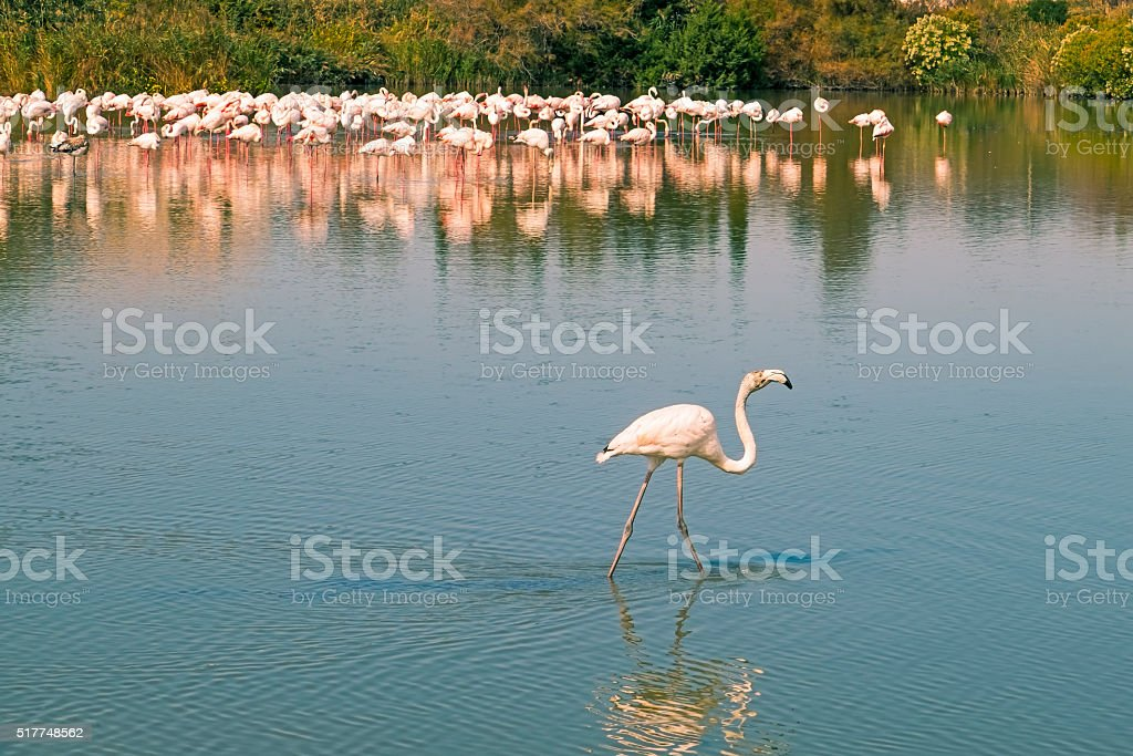 Going solo: young flamingo strides away from flock stock photo