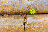 istock Going through the wall - Plant finds it's own way 1136156331