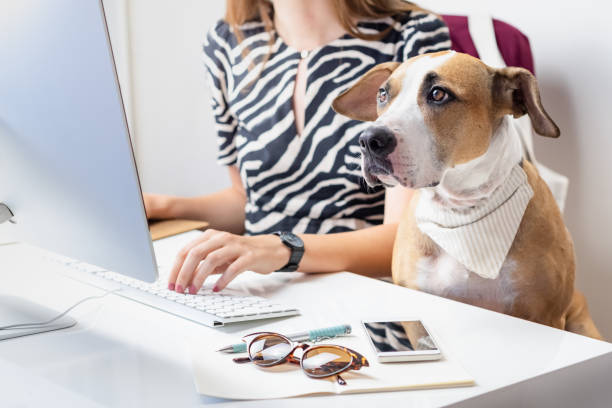 Going to work with pets concept: cute dog with female owner in front of a desktop computer in office. Staffordshire terrier sits in office chair at a modern working place. animal tricks stock pictures, royalty-free photos & images