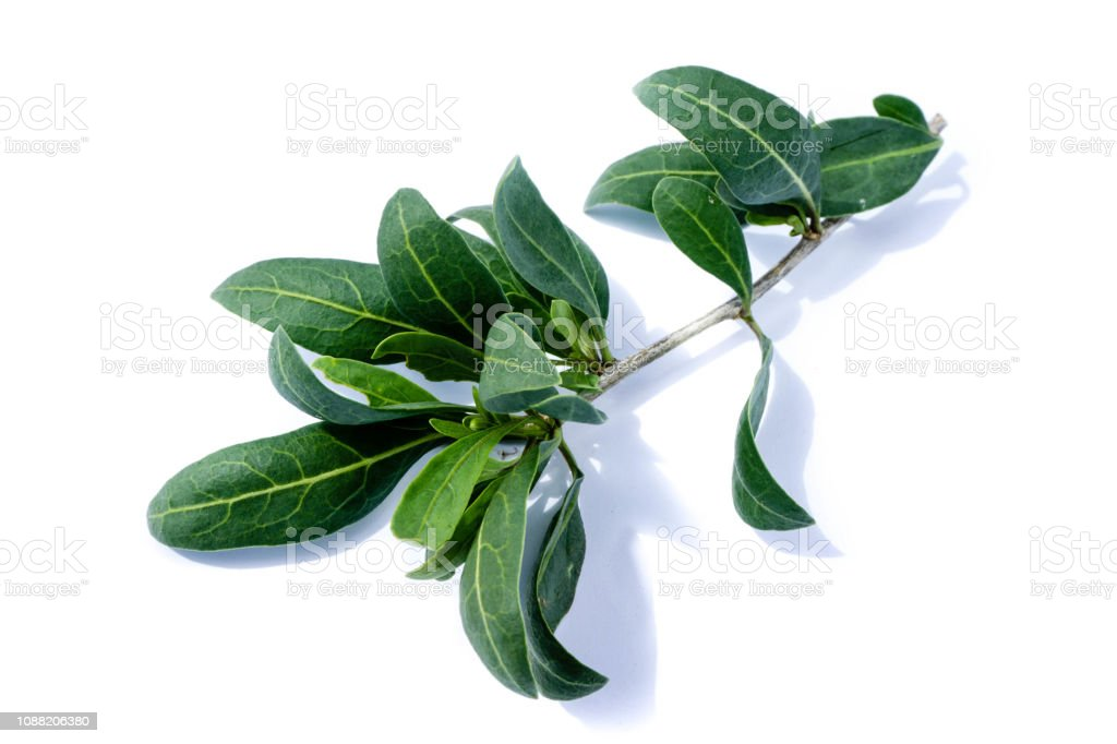Goji Berries Leaf Isolated On White Background Stock Photo