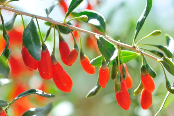 Goji berry fruits and plants in sunshine garden stock photo