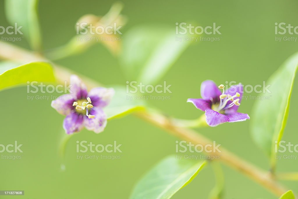 Goji flower royalty-free stock photo