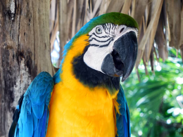 Gold and Blue Macau Parrot at Ardastra Gardens, Nassau Bahamas stock photo