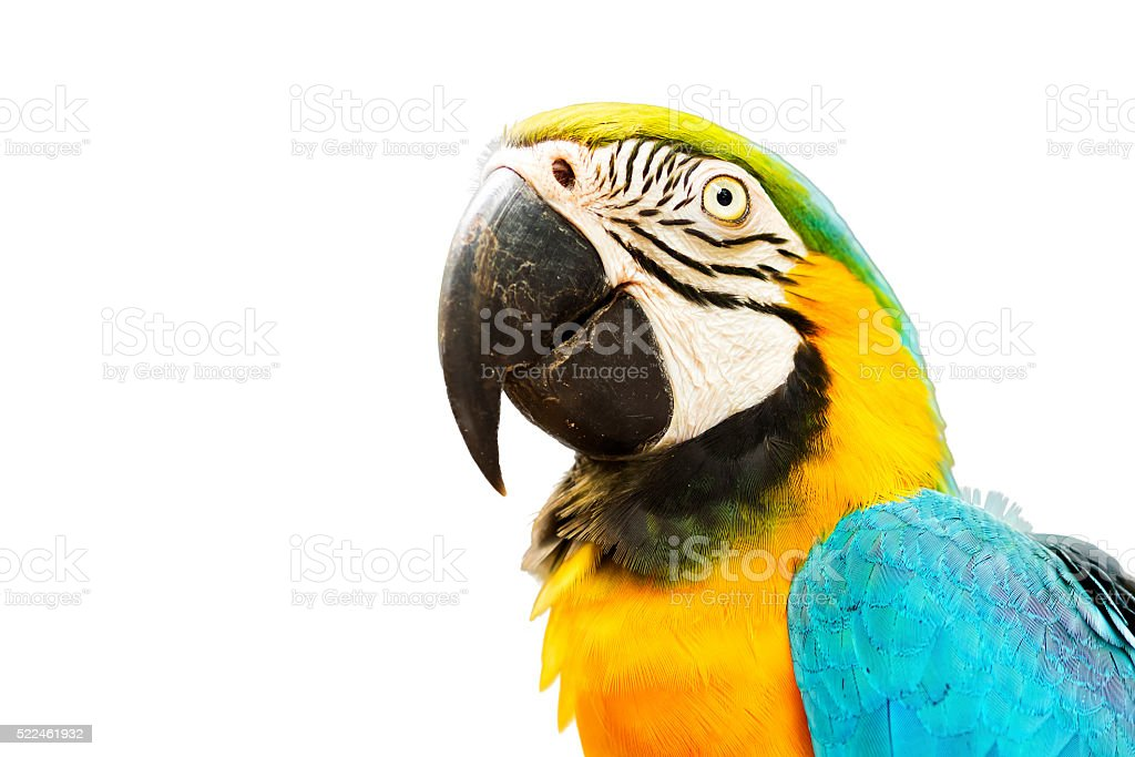 Gold and Blue Macaw Bird Isolated on White Background stock photo