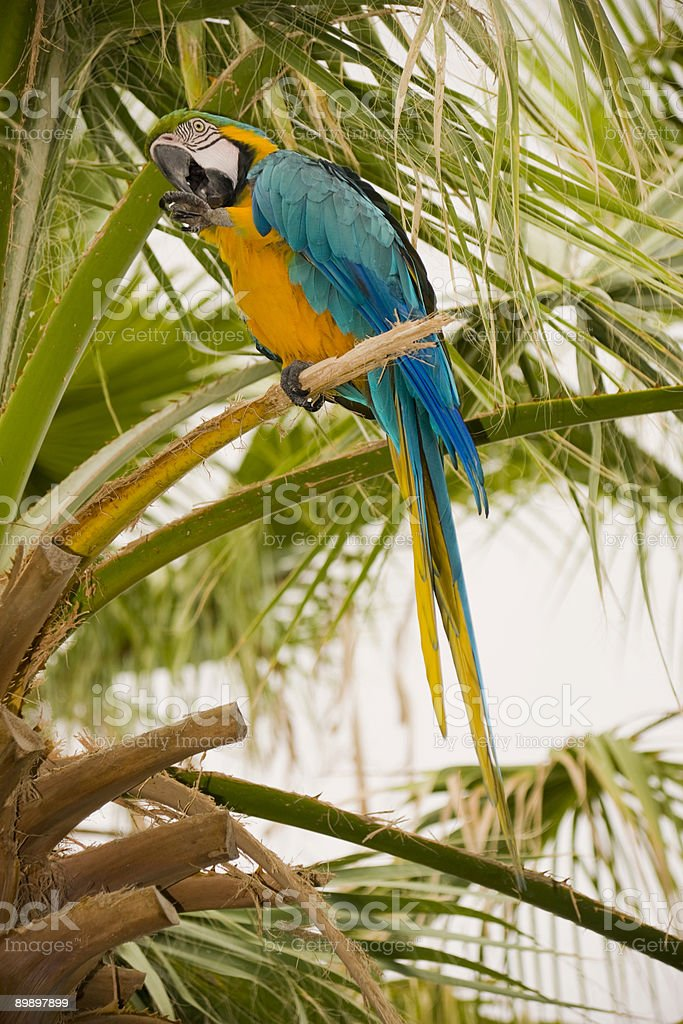 Gold And Blue Macaw on a palm tree royalty free stockfoto