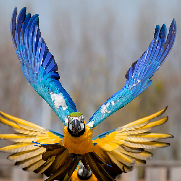 Hyacinth Macaw Wallpaper 23 - 1280 X 1024 | stmed.net ... |Blue Macaw Parrot Flying