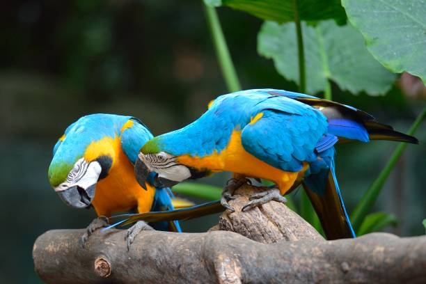 Gold und blauer Ara – Foto