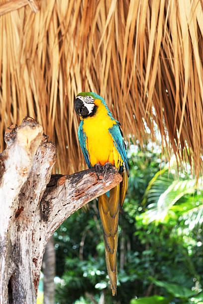 Guacamayo dorado y azul - foto de stock