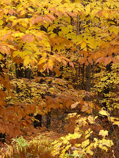 Gold and Bronze Beech Leaves stock photo