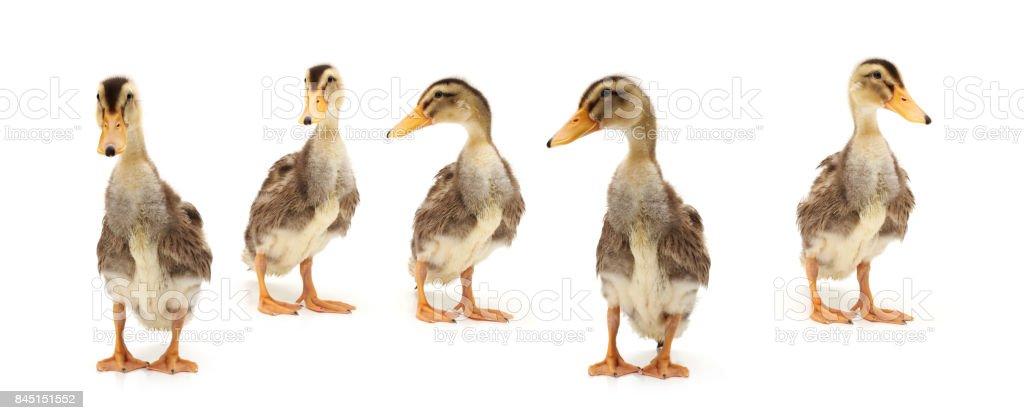 Bebé pato oro y marrón sobre un fondo blanco - foto de stock