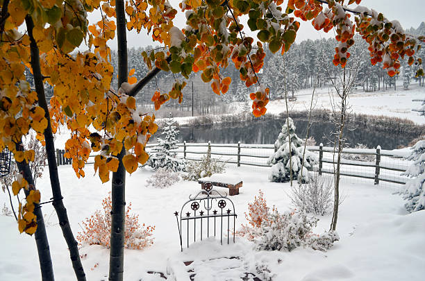 Gold Aspen Leaves frame snowy scene stock photo