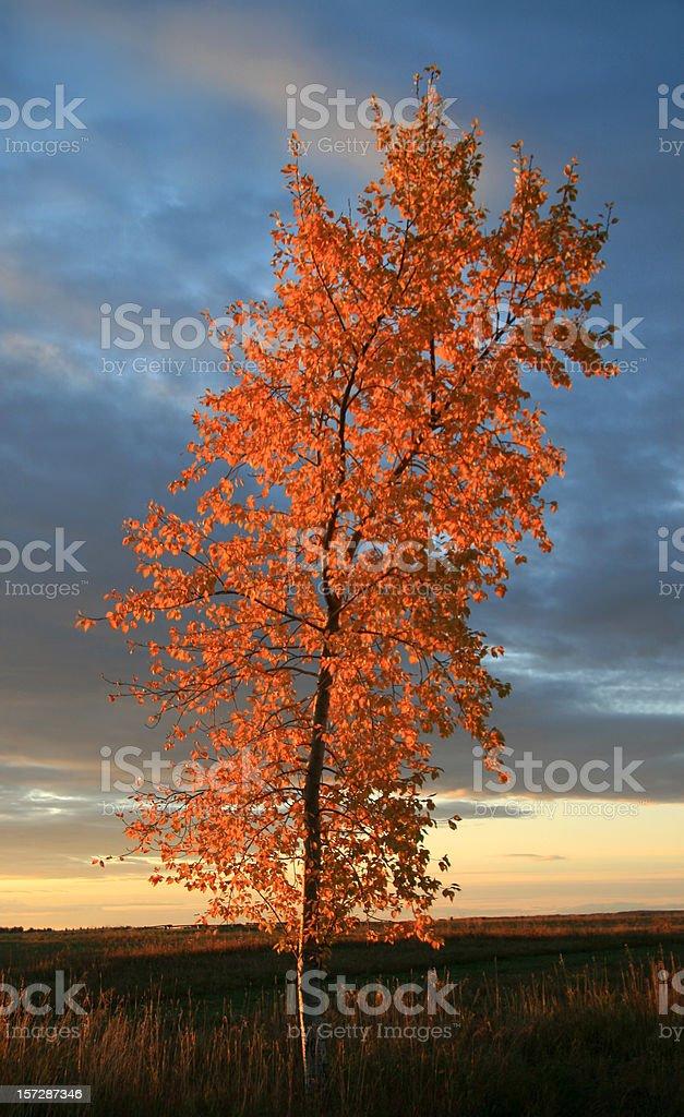 Gold Aspen Tree royalty-free stock photo