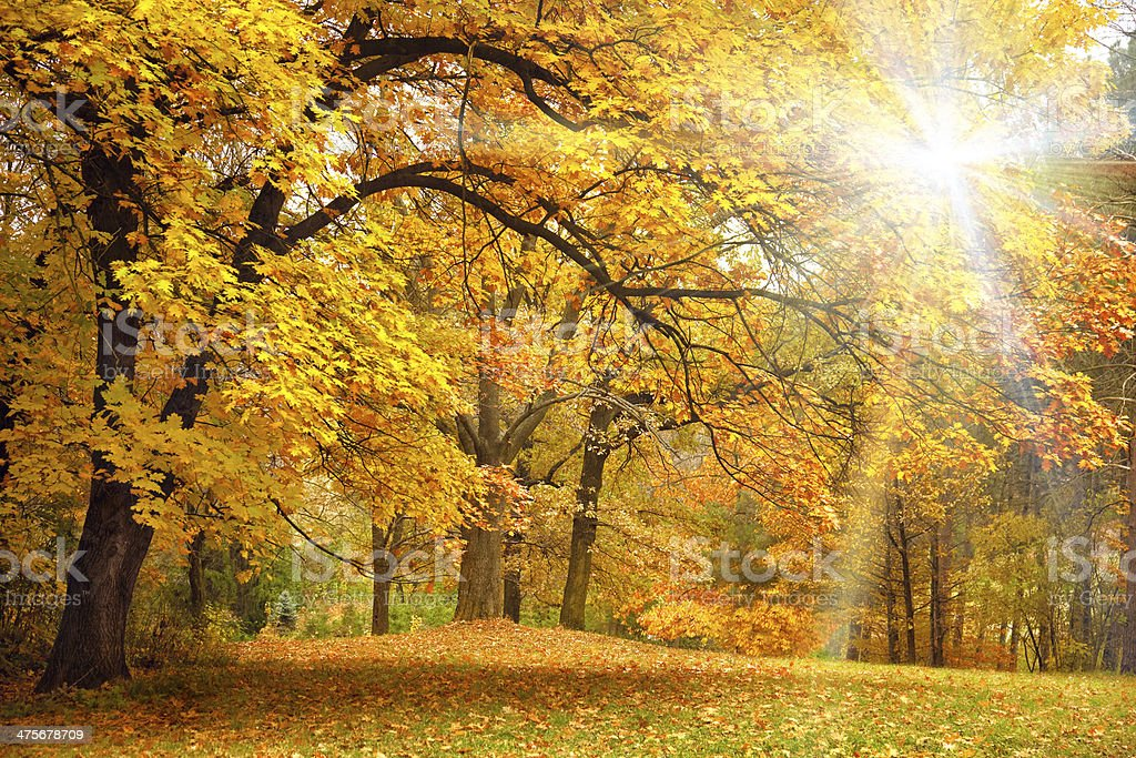 Gold Autumn with sunlight / Beautiful Trees in the forest stock photo