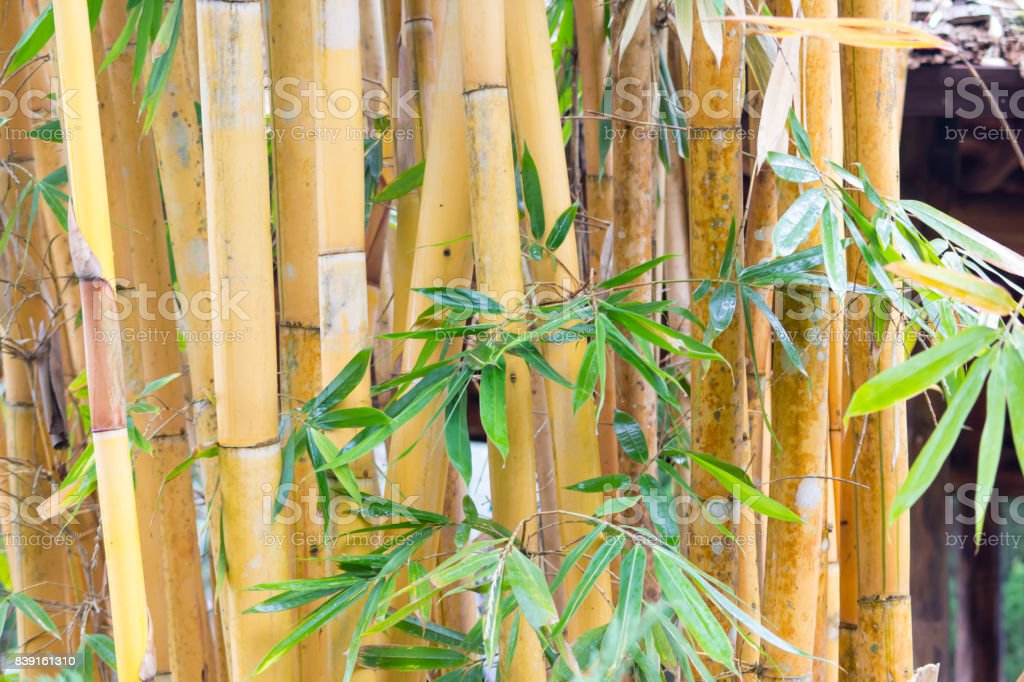 Gold bamboo trunk in the forest, Thailand stock photo