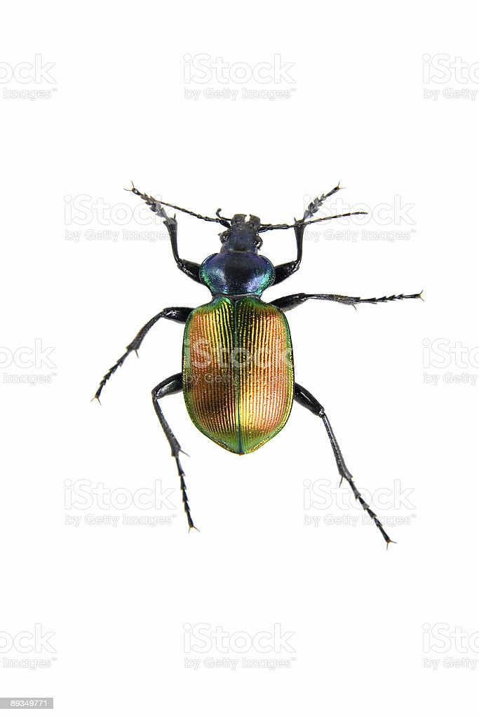 Gold Beetle isolated on white royalty-free stock photo