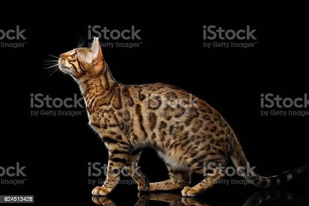 Gold bengal cat on isolated black background picture id624513428?b=1&k=6&m=624513428&s=612x612&h=ytp3vm856czma5qx3gpxyhvfbgkwvbmxoda9kdporc8=