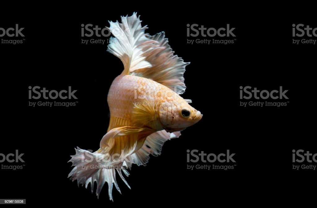 Gold Betta Fish Siamese Fighting Fish On Black Background Isolated