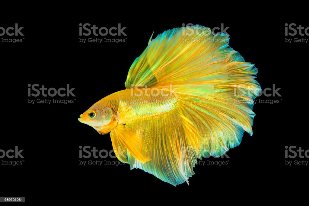 Gold Betta Fish Yellow Fighting Fish Siamese Fighting Fish Isolated ...