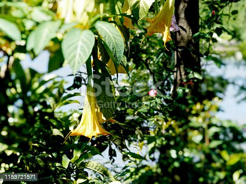 Gold brugmansia flowers in the street, close-up view