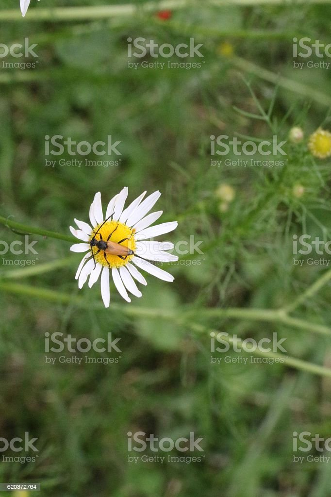 Gold bug or insect on flower zbiór zdjęć royalty-free