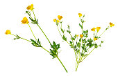 Buttercups are herbaceous plants, annual or perennial, of the family Renonculaceae.\nThe name \
