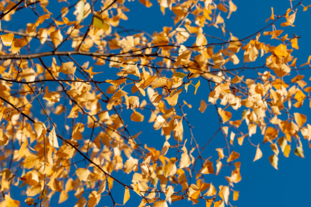 gold colored leaves of a birch against solid blue sky stock photo