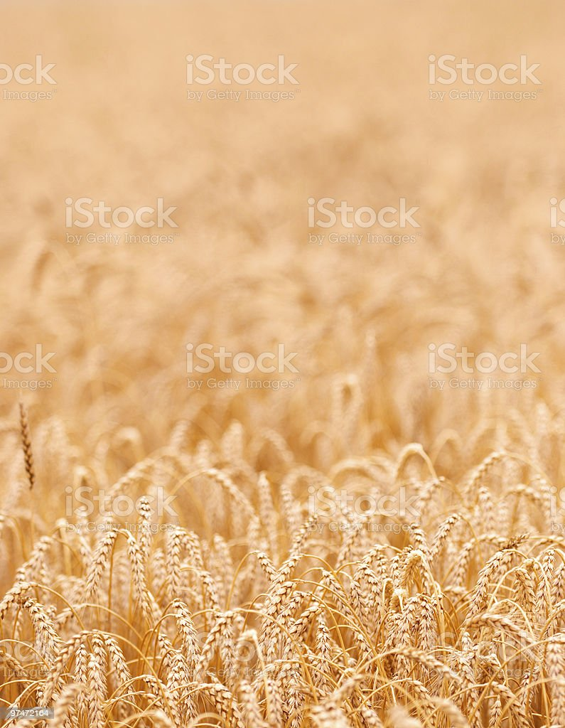 gold crop royalty-free stock photo