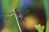 Isolated gold dragonfly