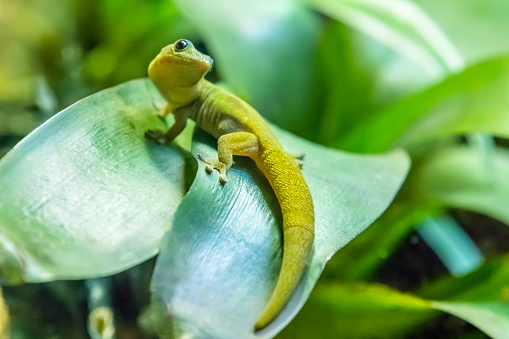Gold dust day Gecko feeds on insects and nectar, lives in Madagascar.