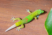Gold dust day gecko, Phelsuma laticauda, with regrown tail. The tail will regrow if lost but does not have the colors of the original.