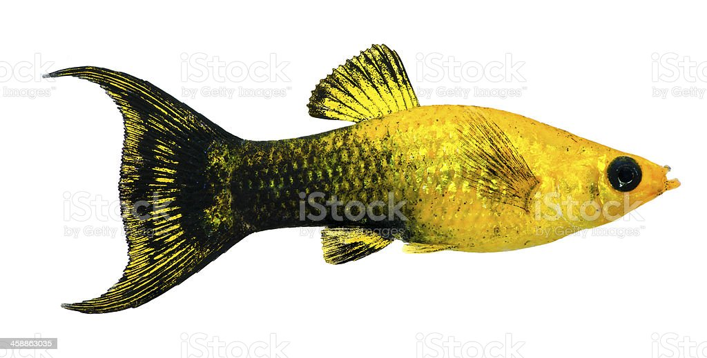 Gold Dust Lyretail Molly (Female) stock photo