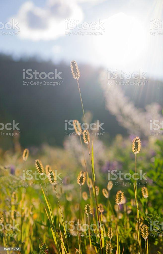 Gold ears in the sunlight – Foto