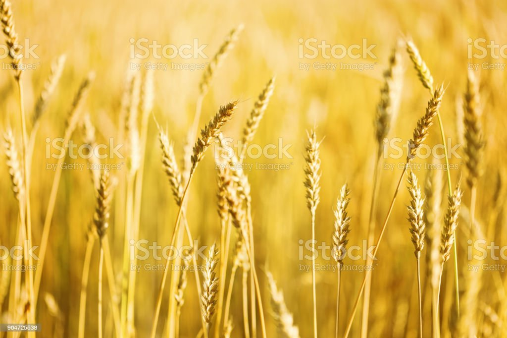 Gold ears of wheat on field royalty-free stock photo