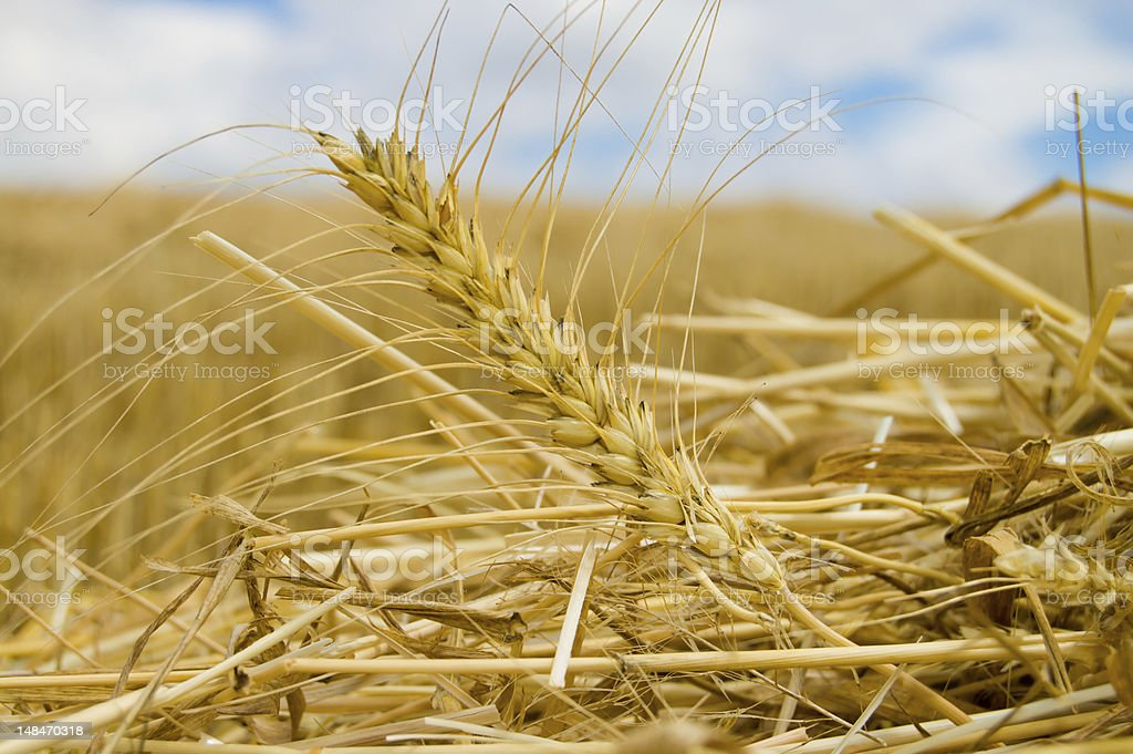 gold ears of wheat royalty-free stock photo