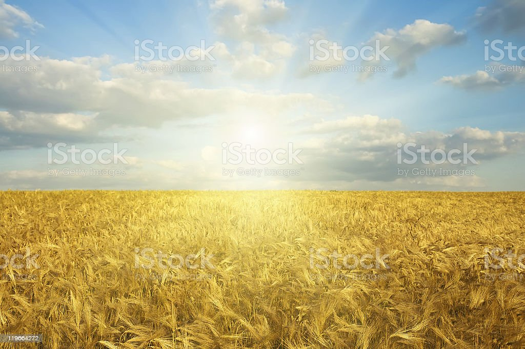 gold field in sunset stock photo