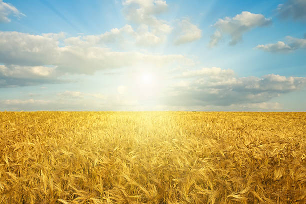 gold field in sunset - natural phenomenon stock photos and pictures