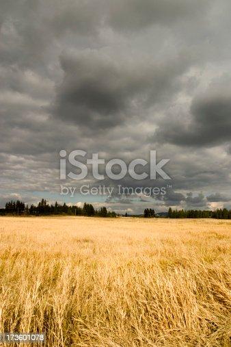 Nice gold field under stormy skies.