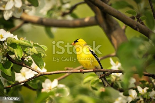 Gold finch perched on the branch of a flowering apple tree. Selective focus on the bird.