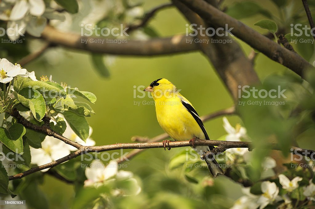 Gold finch and flowers, beautiful yellow bird. stock photo