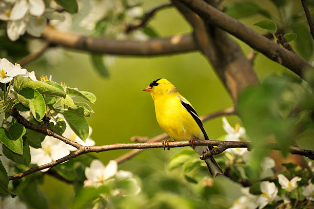 Gold finch and flowers, beautiful yellow bird. Gold finch perched on the branch of a flowering apple tree. Selective focus on the bird. gold finch stock pictures, royalty-free photos & images
