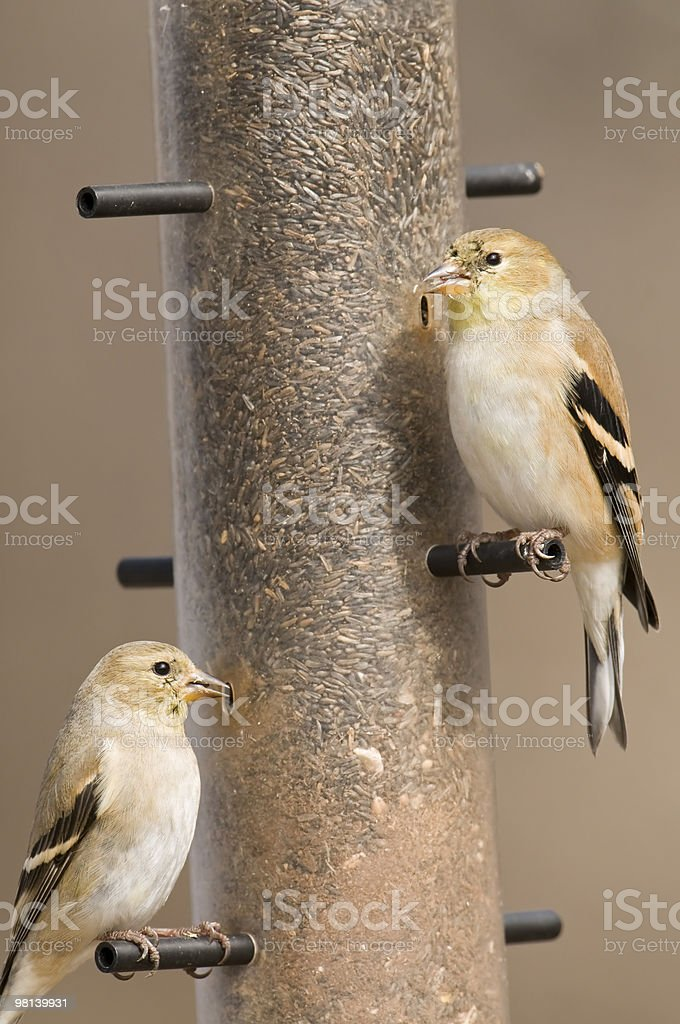 Gold finch at the feeder royalty-free stock photo