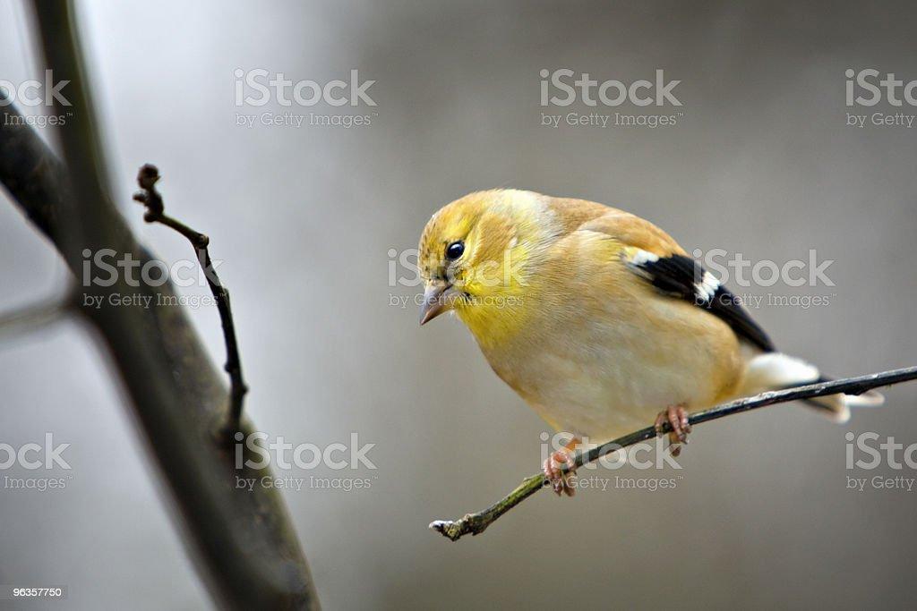 Gold Finch bird on limb royalty-free stock photo