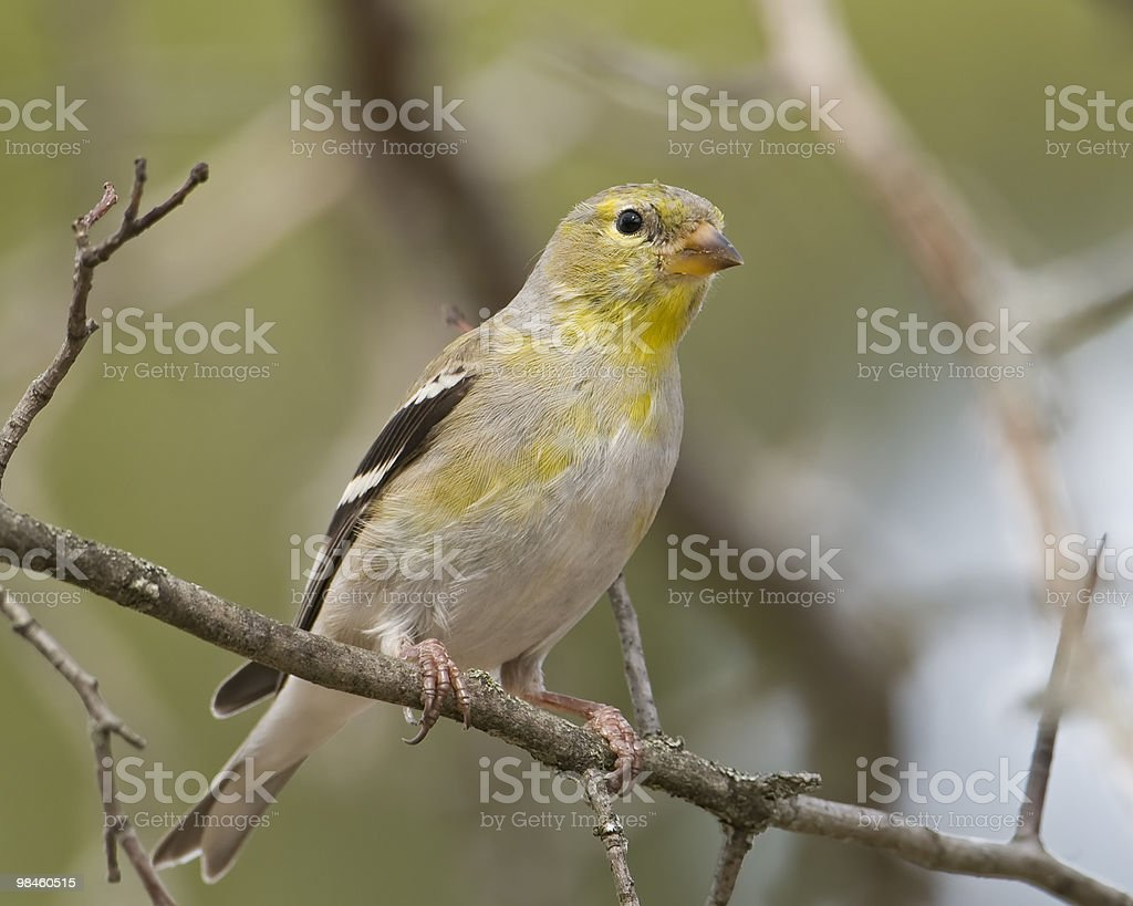 Gold Finch in Tree royalty-free stock photo