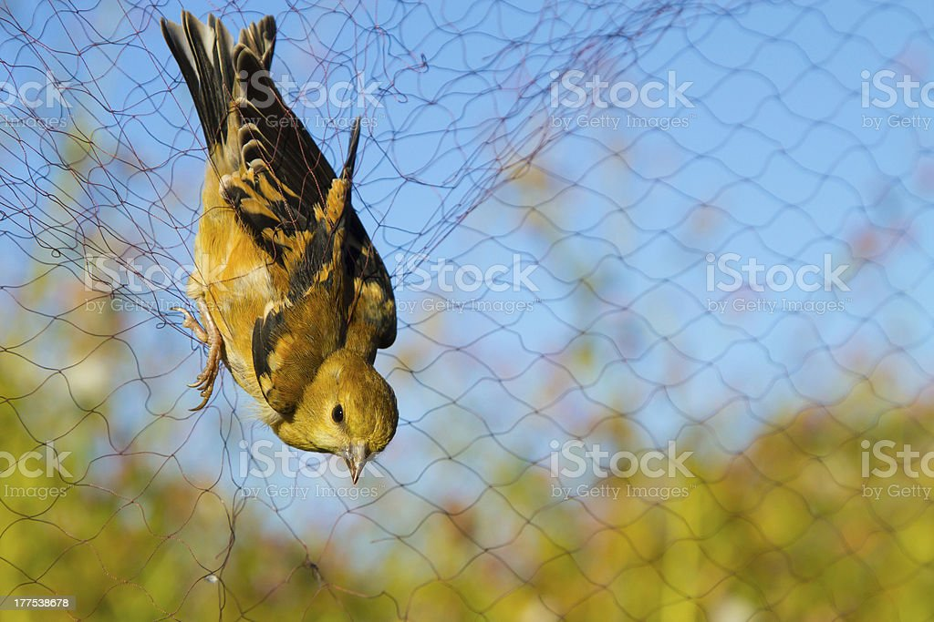 Gold Finch stock photo