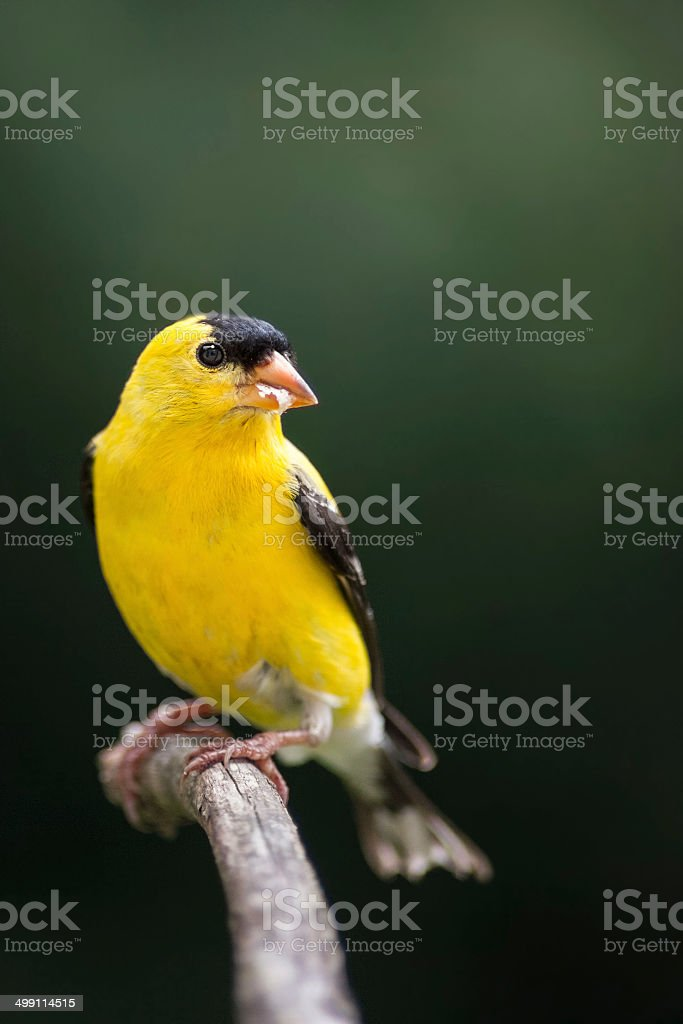 Gold Finch (Male) stock photo