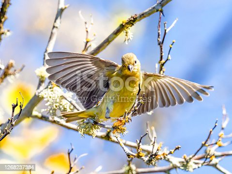 A gold finch starting to fly from a branch. Summer day  in the Willamette Valley of Oregon. Has a soft, defocused background of blue sky and leaves.