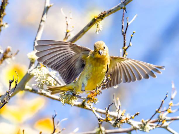 Gold Finch Ready to  Fly from Branch in Oregon stock photo