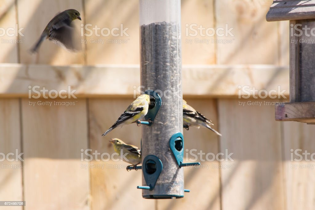 gold finches feeding stock photo